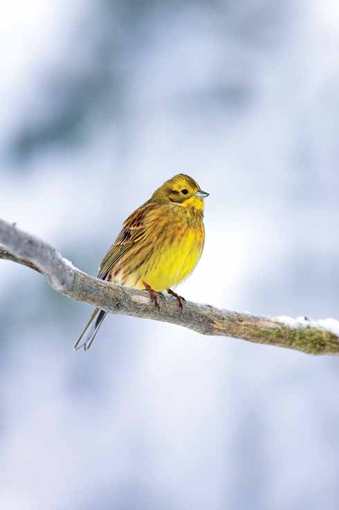 Yellowhammers are normally found on arable farmland but cold weather often brings them into gardens as food becomes harder to find