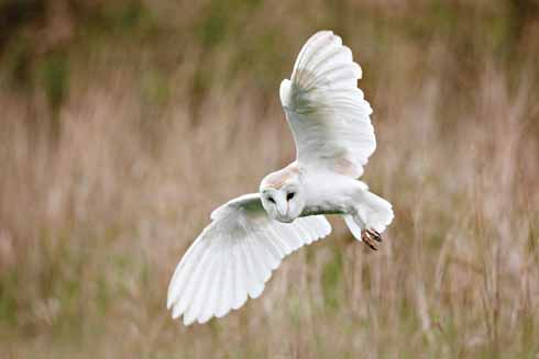 Barn owls can suffer greatly during harsh winter conditions. They will often be seen hunting by day when prey is scarce.