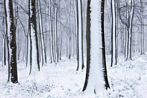 Significant accumulations of snow have occurred on Compton Down in recent years. These beech trees are at Gore Clump above Compton Abbas.