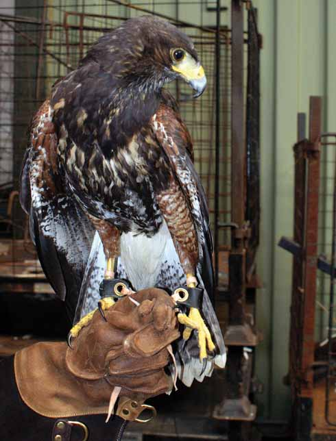 Animals have an important part to play in the rehabilitation programme. The latest addition is this Harris hawk; three members of the staff are qualified falconry instructors.
