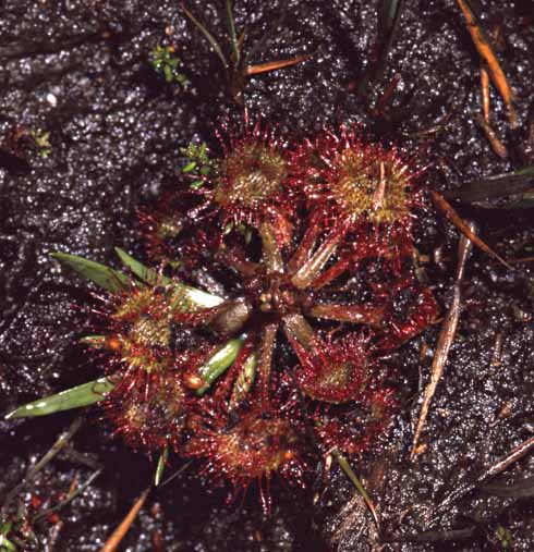 The round-leaved sundew is our commonest sundew. It is found frequently in damp areas on Morden Bog