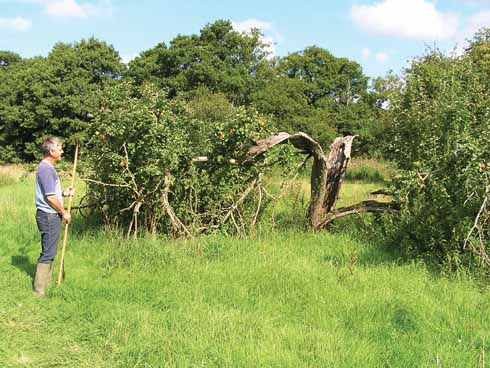 In a derelict orchard at Pymore near Bridport: 'a tree,broken but still vigorous'