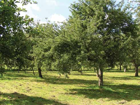 An orchard of Golden Ball apple trees near Netherbury