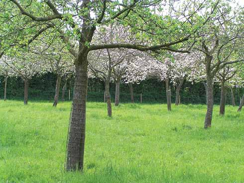 A new generation of traditional Dorset apple varieties... growing at Coxbridge in Somerset
