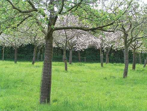 A new generation of traditional Dorset apple varieties... growing at Coxbridge in Somerset
