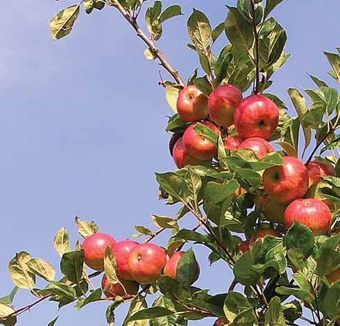 Browns apple: an excellent cider apple