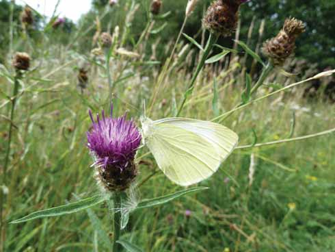 The wildflowers growing in Bugdens meadow now attract a range of butterflies, including this white basking on knapweed