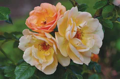 Peachy tones of Rosa 'Maigold'