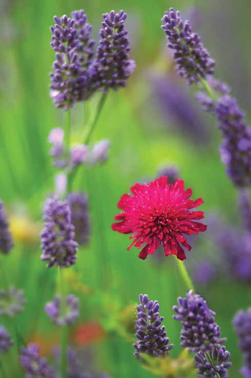 Knautia and lavender pair well