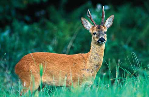 Roe deer, like this buck, graze the rough pasture at dawn and dusk