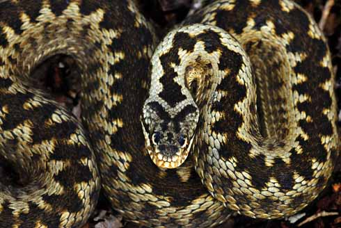 A beautifully-marked adder photographed at Alner's Gorse