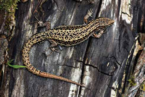 A common lizard basking on a log pile