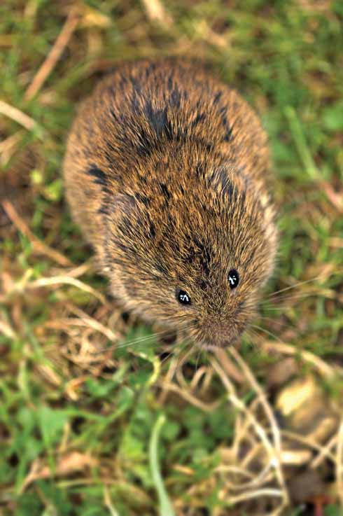 The rough grassland is ideal habitat for the field vole, which, in turn, attracts predators like owls, hawks and foxes