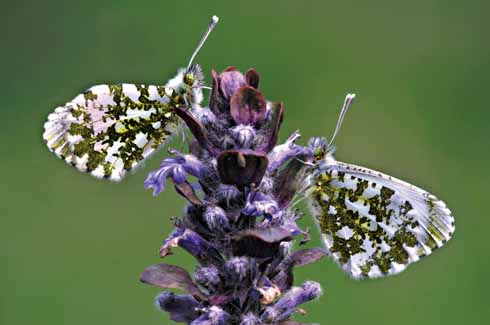 A pair of orange-tip butterflies at rest on a bugle flower