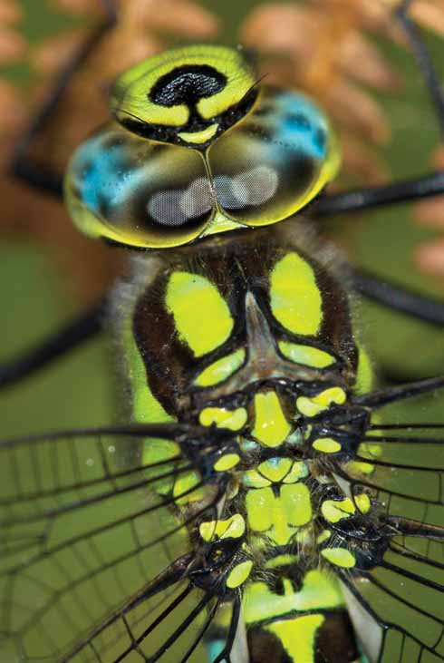 This southern hawker dragonfly was photographed in the hedge alongside the main track. As the frame is filled with the insect's head and thorax, it is possible to see the mechanical-like workings of its wings.