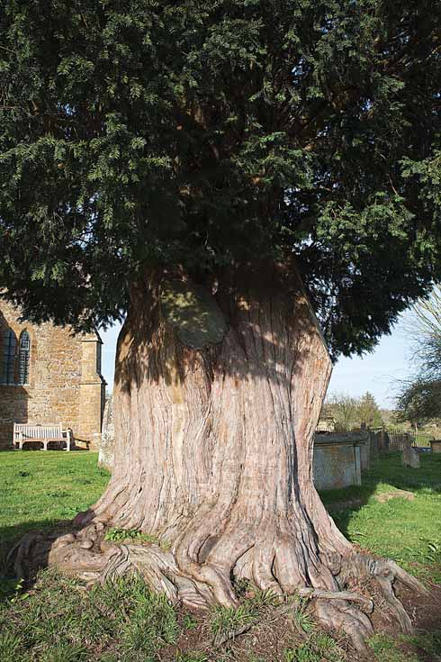 The massive trunk of the yew tree at Stoke Abbott church