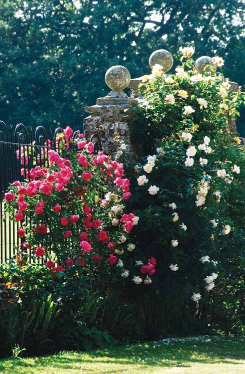 Welcoming roses on the boundary fence