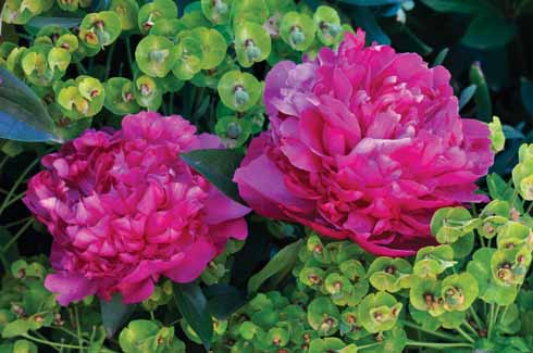 Peony and euphorbia blend beautifully