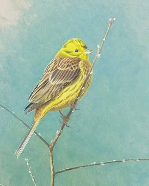 Yellowhammer on blackthorn, Ryme Intrinseca, April '11 (detail). Oil, 18 x 12 inches.