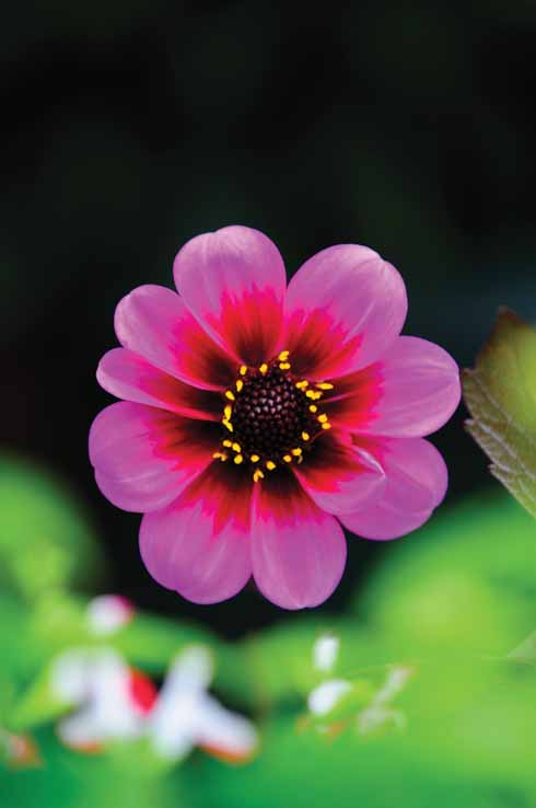 Dahlia 'Giselle' takes the stage.