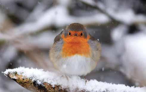 Typically the robin is associated with mid-winter, in part this must be due to the bird's tameness in proximity to humans. This bird is fluffing up its feathers for maximum insulation.