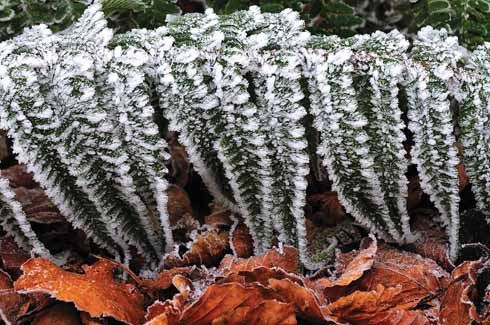 Frost crystals delicately festoon fern fronds against the colours of fallen beech leaves.