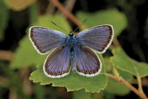 A male silver-studded blue butterfly is one of many species to be found at Slop Bog