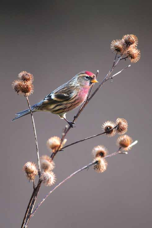 During the autumn, the redpoll feeds on alder seeds. By December when the seed stock is diminished, the bird turns up at garden feeding stations across Dorset.