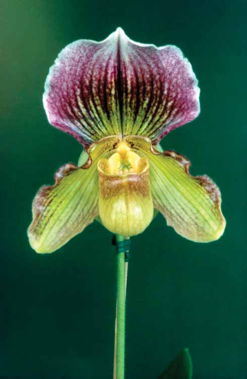 Pph 'Country Girl' Shot silk, AM-RHS (Paph Rheingold X Paph. Fairiaenum)