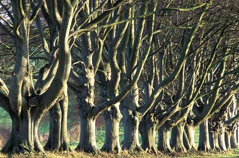 The beech avenue at Kingston Lacy is a great way of seeing how trees – even those uniformly planted ones – grow diffferently and have their own personalities