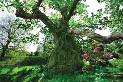 Billy Wilkins – a great, pot-bellied, ancient oak in Melbury Park – is somehow suggestive of JRR Tolkien's Ents, the walking, talking tree beings of Middle Earth