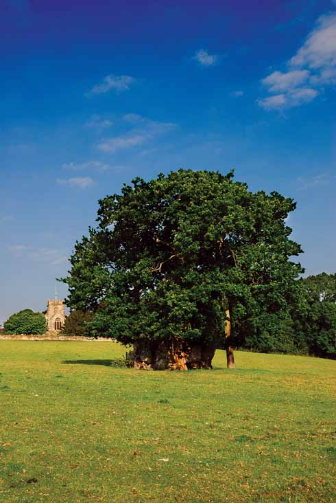 The Wyndham Oak in Silton is a pedunculate oak, also known as an English (or French) Oak. This one was the subject of an engraving in the time of George III and is named for a Judge Wyndham who owned the land on which it lay in the mid-17th century and is supposed to have rested under it to collect his thoughts.