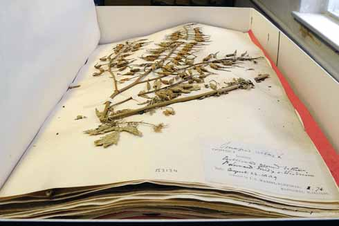 Preserved plant in the Herbarium of JC Mansel-Pleydell