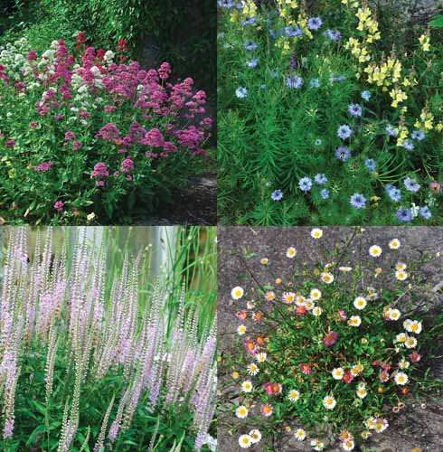 Red Valerian, Nigella and toadflax, Veronicastrum and fleabane add structure and small attractive items of interest to borders