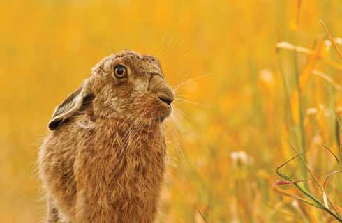 It had just rained on a tiny strip of dying wheat. The sun came out, turning the background 'gold', and then along came the hare.