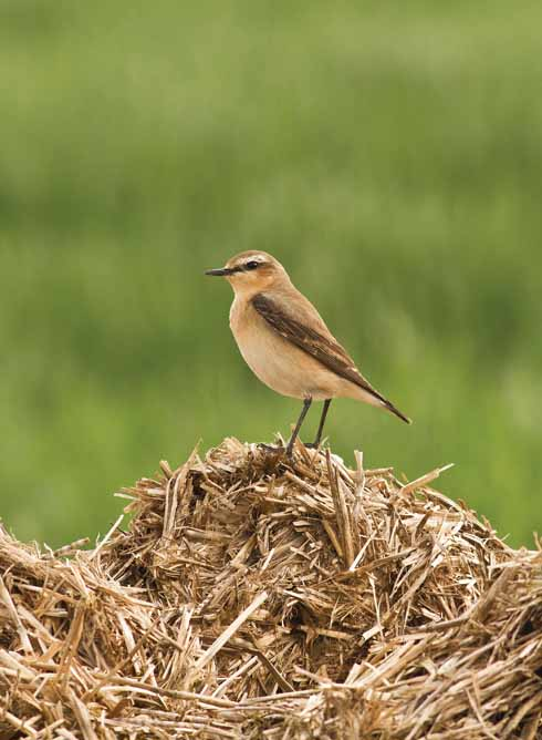 This growing manure pile yielded many flies and was a wonderful food source attraction for the birds, one of them being this wheatear