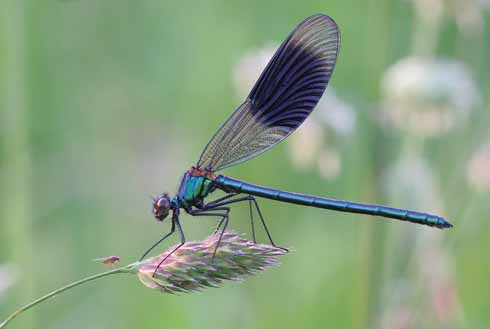 Taken at Shapwick, as the sun set, this male banded demoiselle began to settle down for the night. Macro photography often throws up some great surprises; in this instance John didn't see the fly to the left of the demoiselle until he had the image on screen.