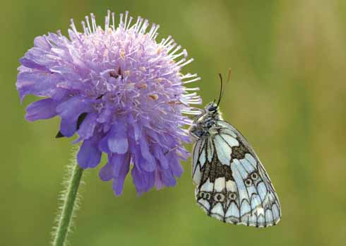 A marbled white butterfly on scabious taken early morning at Badbury Rings…waiting for the butterfly to warm up
