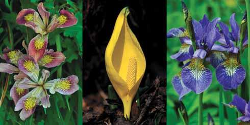 An unkown iris variety, skunk cabbage and iris siribica