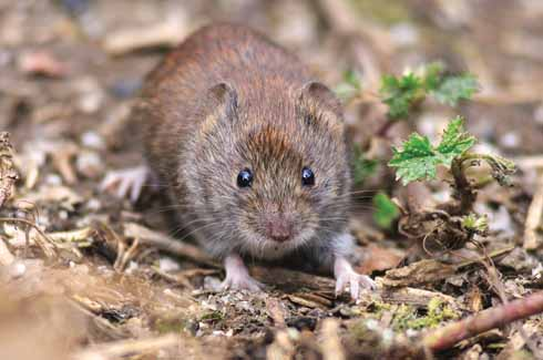 This small mammal's ears give it away as a bank vole