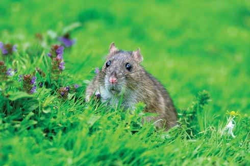 The brown rat has been on the increase in Dorset in recent years