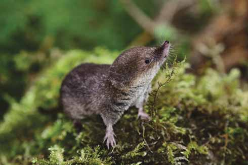 A common shrew, notice its fine snout, ideal for seeking out invertebrate food