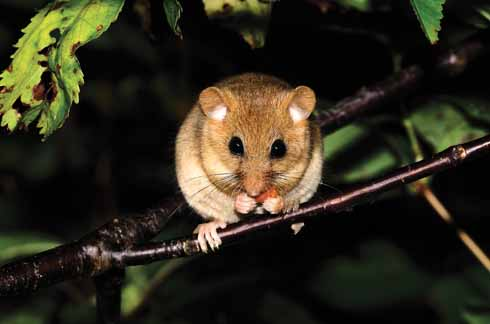 In summer, dormice are active up in the trees and hedges, rarely coming to the ground