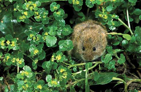 A field vole, feeding amongst golden saxifrage in spring