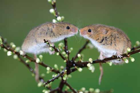 A pair of harvest mice greet each other in a hawthorn bush