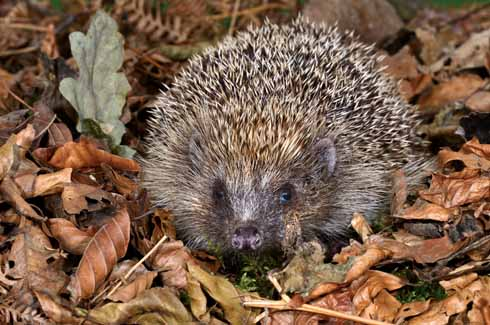 An adult hedgehog rummaging in leaf litter in autumn