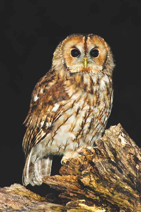 Tawny owls prey on wood mice and other small rodents in woods and copses