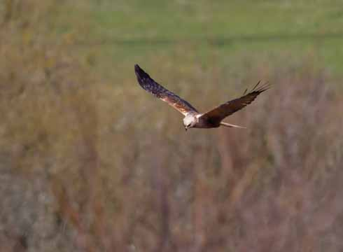 The 'sneak' male, whose smaller size and dark colouring ensures that he is not perceived as a threat to the other Radipole male marsh harrier