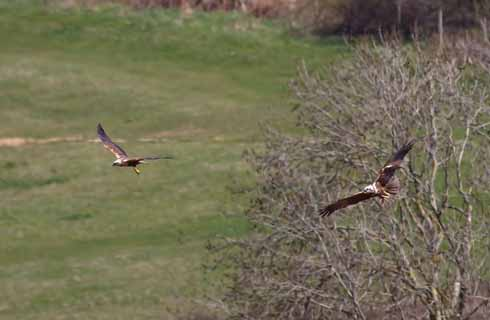 (Not entirely) true love: the male and female marsh harrier flying together...