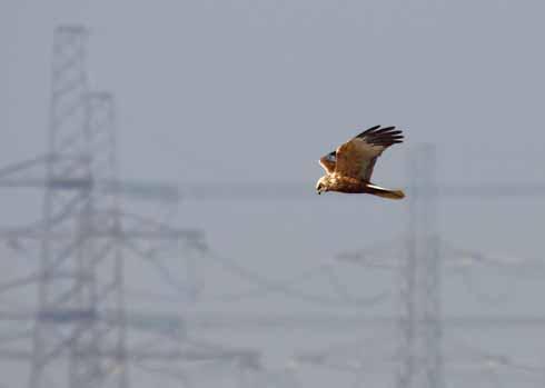 615EdLeadoffStandard Male plumage 2